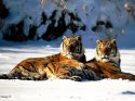 Lounging, Siberian Tiger Pair