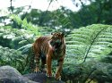 Master Of His Domain, Sumatran Tiger