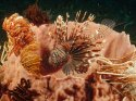 Lionfish Lurking Among Feather Star Crinoids