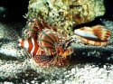 On Patrol, Lionfish