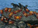 Sally-Lightfoot Crabs and Marine Iguanas